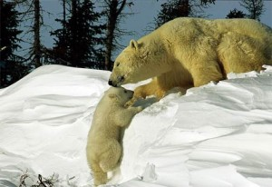 polar-bear-coaxing-baby